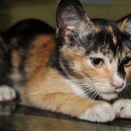 Cemoyeng,  a newly rescued female kitten. by Dura Zaman - Animals - Cats Kittens ( kitten, female, pet, stray, animal,  )