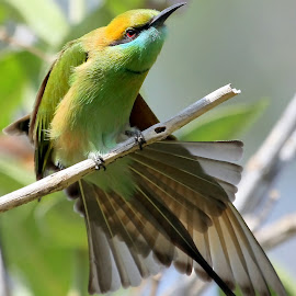 Green Bee-eater by S Balaji - Animals Birds ( animals, style, nature, feathers, green bee-eaters, birds,  )