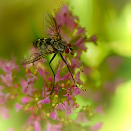 Inspecting the flowers by Radu Eftimie - Animals Insects & Spiders ( macrophotography, fly, flowers )
