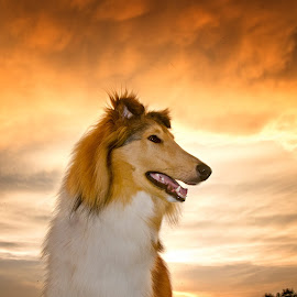 Elmo the collie by Christina Smith - Animals - Dogs Portraits ( #showusyourpets, collie, pet photography, rough collie, #garyfongpets, Lighting, moods, mood lighting )