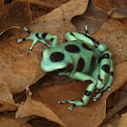 Green-black poison dart frog