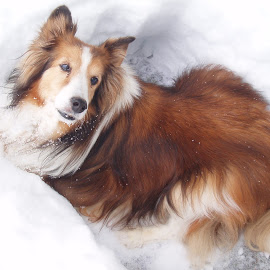 Snow Dog by Sandy Newfield - Animals - Dogs Portraits ( winter, cold, shetland sheepdog, snow, dog, sheltie, dakota brown )