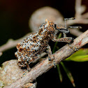 Elephant weevil
