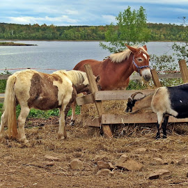 FEEDING TIME by Gary Colwell - Animals Horses ( farm, goat, donkey, horse,  )