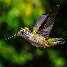 Still by Brian Box - Animals Birds ( humming birds, small birds, hummingbird, migratory birds, birds, humming bird )