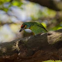 Crimson Fronted Barbet