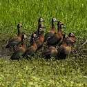 Irerê(White-faced Whistling-Duck)