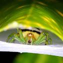 Kidney Garden Spider