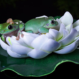 by Adi Parmana - Animals Amphibians (  )