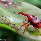 Leaf twisting weevil