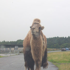 Camel in road by Julie Pa - Animals Other ( camel, zoo, animal )