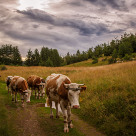 Cows heading home by Stanislav Horacek - Landscapes Prairies, Meadows & Fields