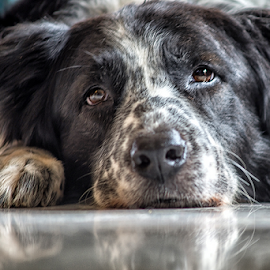 Dutch by Cristobal Garciaferro Rubio - Animals - Dogs Portraits ( collie, border colli, reflections, dog, border )