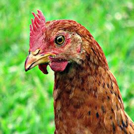 Chicken by Milton Moreno - Animals Other ( pigeon, orange, animals, green, peahen, yellow, feathers, birds, humming bird, chicken, bird, blue, crane, peacock,  )