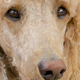Brains and Beauty by Barbara Brock - Animals - Dogs Portraits ( poodle headshot, blond poodle, poodle head, poodle face, yellow poodle, standard poodle )