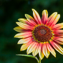 Colorful Small Sunflower by Kenneth Keifer - Flowers Single Flower ( single, flowering, decorative, colorful, blooming, petals, bright, colors, one, sunflower, little, bloom, yellow, ornamental, nature, pink, gold, bi color, small, garden, flower, floral )