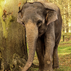 Roaming in the woods by Garry Chisholm - Animals Other Mammals ( garry chisholm, trunk, nature, elephant, wildlife )