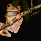 Harlequin Tree Frog