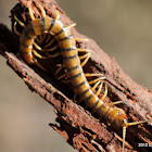 Common Centipede