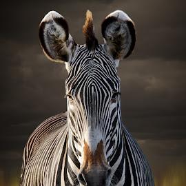 Grevy Zebra by Brenda Bryson - Animals Other Mammals ( endangered animal, zebra, grevy zebra, africa, animal )