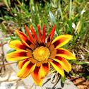 Multi-coloured flowers