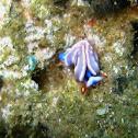 Thuridilla albopustulosa
