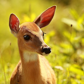 A Touch of Morning Light by Jacqui Sjonger - Animals Other Mammals ( wilderness, dawn, nature, outdoors, wildlife, sunlight, light, close up, portrait, deer, animal )