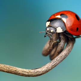Tobogan by Ondrej Pakan - Animals Insects & Spiders ( macro, bug, ladybird, ladybug, insect )