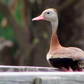 gosling by Betsy Sharp - Novices Only Wildlife