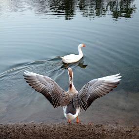 will u be my valentine... by Vatsal Patel - Animals Birds ( water, love, wings, duck, india, valentine, nikon, pond )