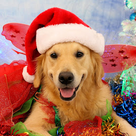 Christmas Pixi by Julie Blight - Animals - Dogs Portraits (  )