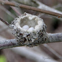 Anna's Hummingbird Eggs