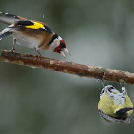 Cyanistes caeruleus Vs Carduelis carduelis by Dragomir Taborin - Animals Birds