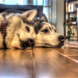 Cousins by Christine Jobin - Animals - Dogs Portraits ( hdr, husky, cousins, siberian )