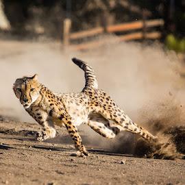 Jamar is Looking at You by Susan Koppel - Animals Lions, Tigers & Big Cats ( cheetah, cheetah run, animal ark, cheetah running )