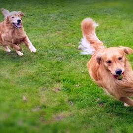 Doggy Tag by Cecilia Sterling - Animals - Dogs Running ( dogs, dogs playing, dogs running, dog, golden retriever,  )