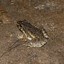 Crab-eating Frog