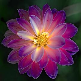 Dahlia by Nikola Vlahov - Flowers Single Flower ( showy, petals, bokeh, dahlia, flower )