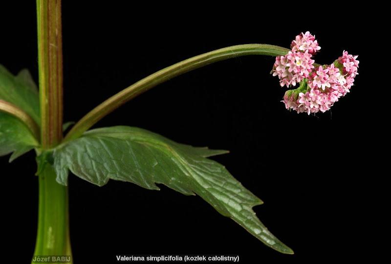 Valeriana simplicifolia inflorescence- Kozłek całolistny kwiatostan
