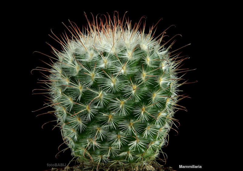 Mammillaria bombycina habit - Mamilaria pokrój