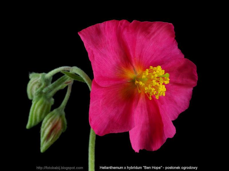 Helianthemum x hybridum 'Ben Hope' - Posłonek ogrodowy
