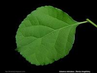Celastrus orbiculatus leaf - Dławisz okrągłolistny liść z wierzchu