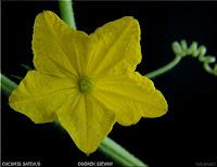 Cucumis sativus - Ogórek siewny Od Plants Gallery  Cucumis sativus flower - Ogórek siewny kwiat