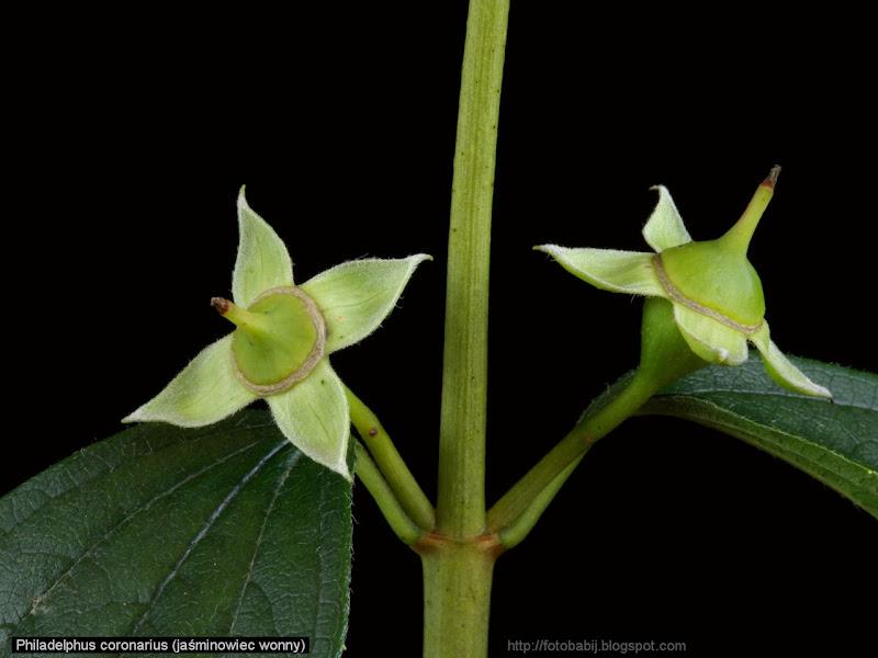 Philadelphus coronarius fruits - Jaśminowiec wonny owoce