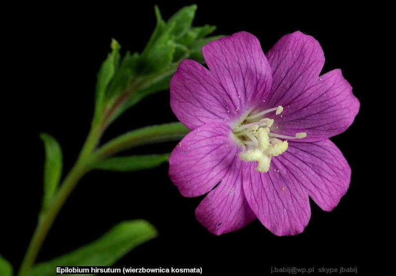 Epilobium hirsutum flower - Wierzbownica kosmata kwiat