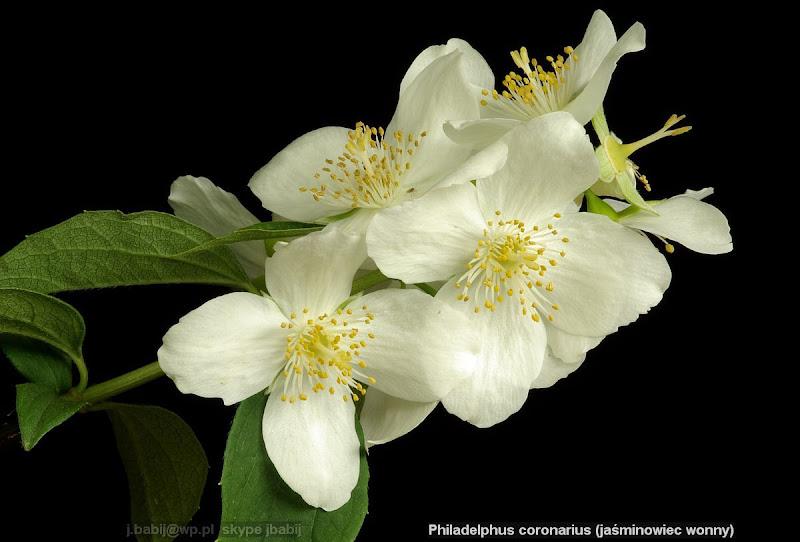 Philadelphus coronarius flowers - Jaśminowiec wonny kwiaty