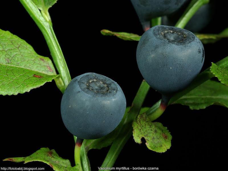 Vaccinium myrtillus fruit - Borówka czarna owoce