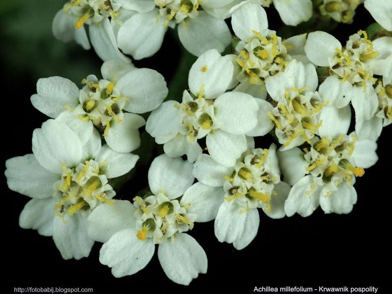 Achillea millefolium flowers - Krwawnik pospolity kwiaty