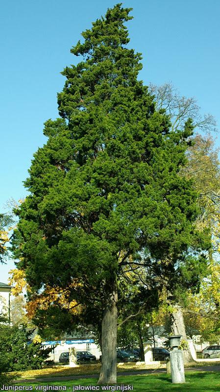 Juniperus virginiana - Jałowiec wirginijski pokrój
