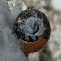 Hairy Snail